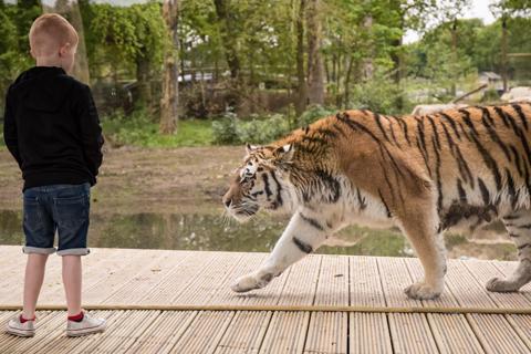 Knowsley Safari Tiger Enclosure Opens