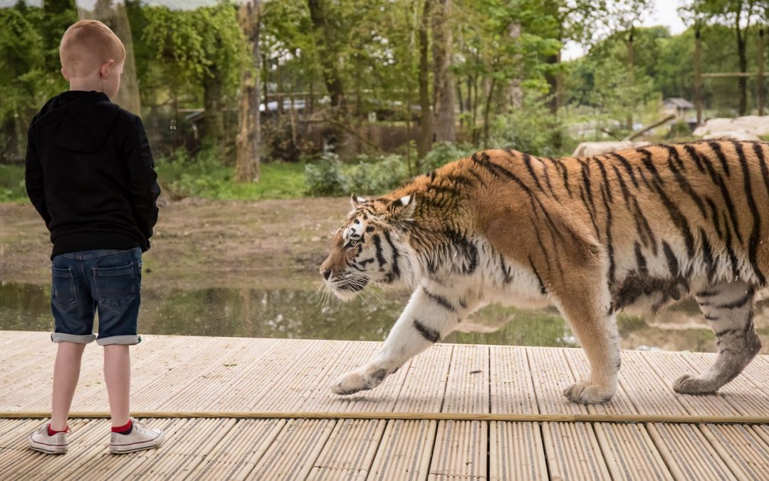 Tiger Park, Knowsley Safari Park